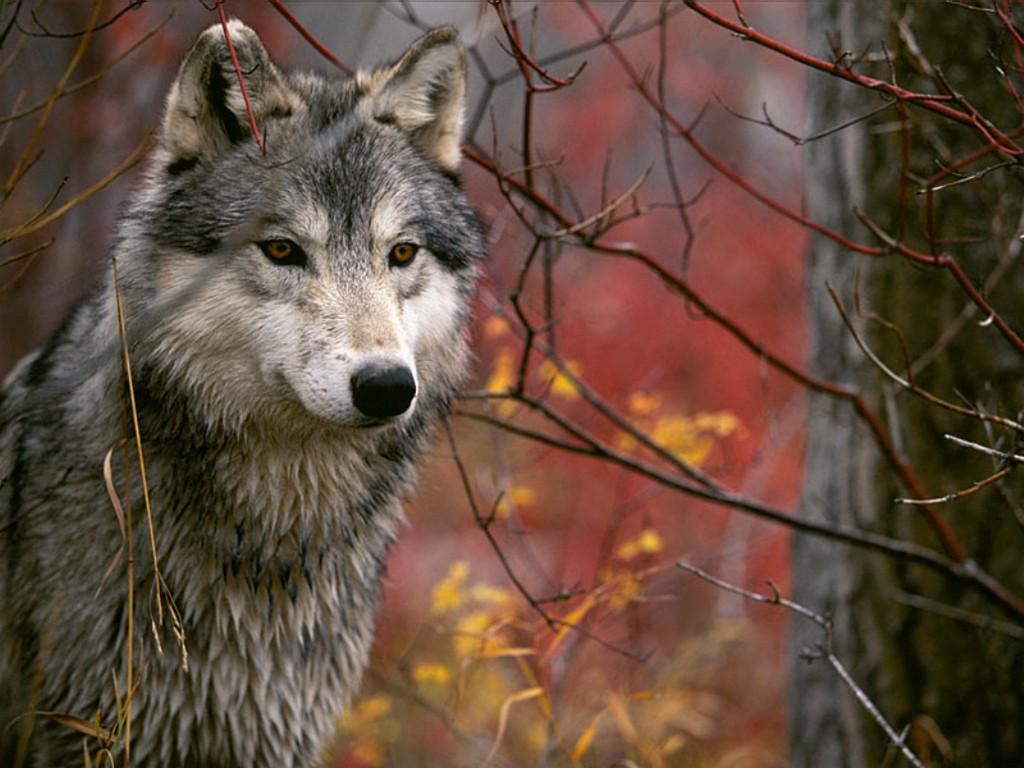 Comportamenti sociologici dei lupi