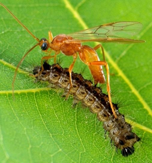 Icneumonidi: Gli Xenomorfi della natura