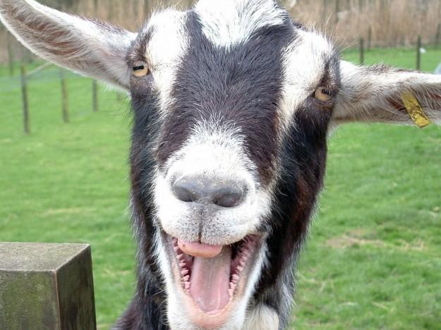 Goat Edition