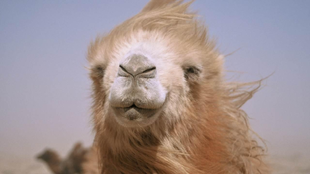 Inquinamento, anche i cammelli sono uccisi dalla plastica