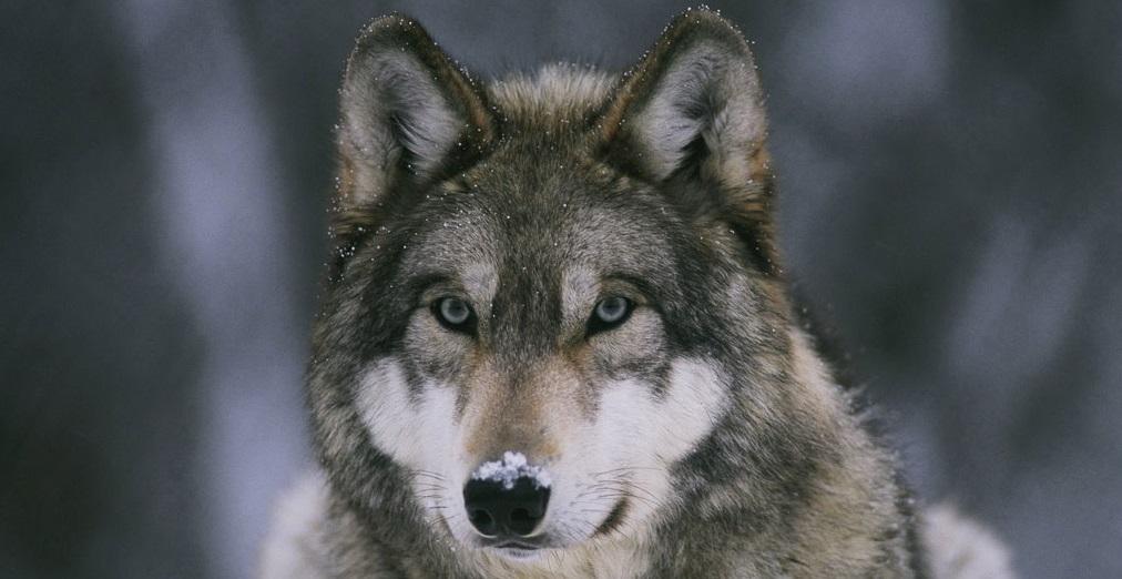 """Perché si dice """"in bocca al lupo"""""""