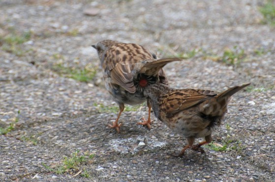 Cloacal_pecking_of_the_Dunnock