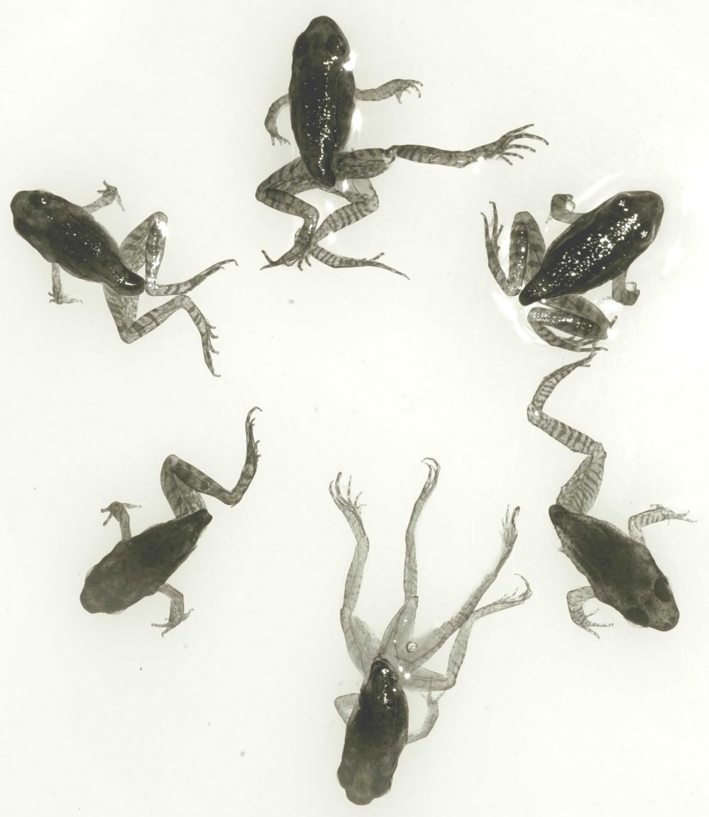 Deformed_frog_assorted_RASY