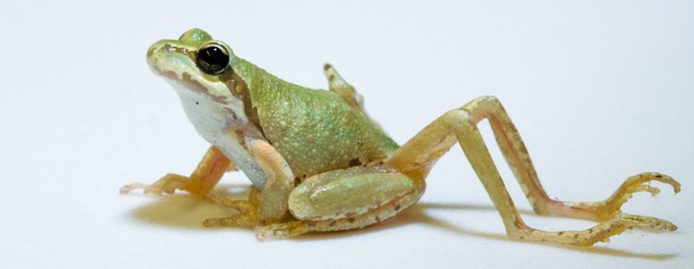 Ribeiroia Frog