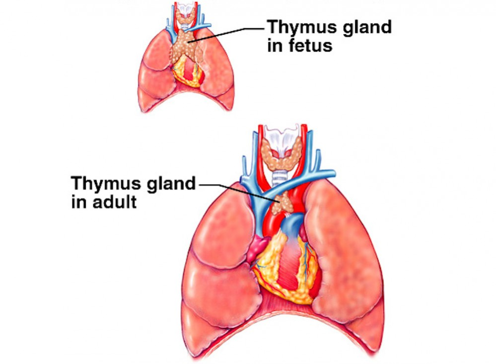 picture-of-thymus-gland