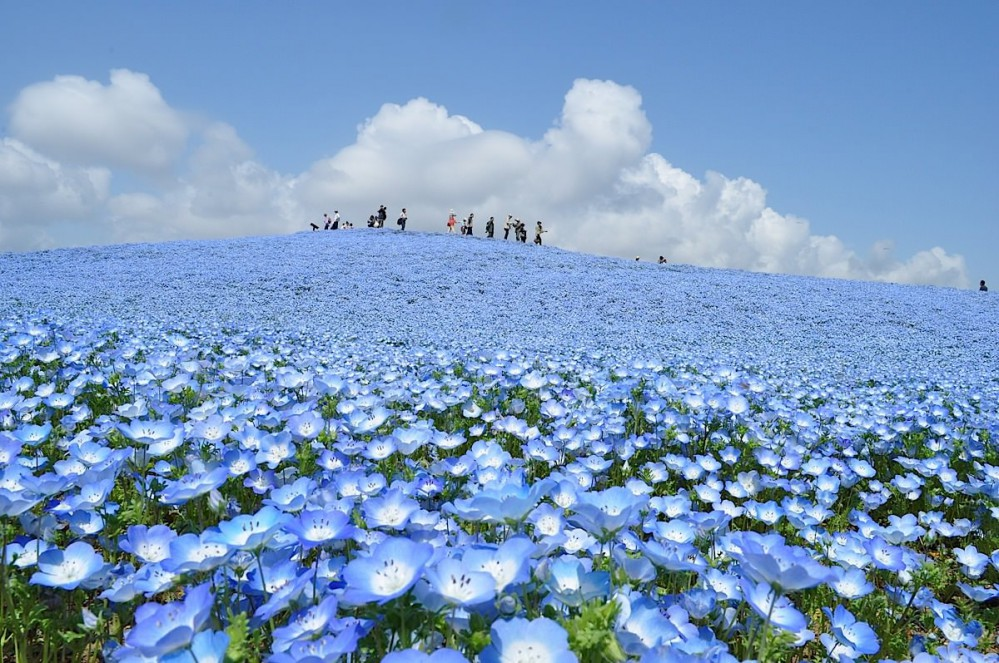 nemophilas-field-hitachi-seaside-park-21