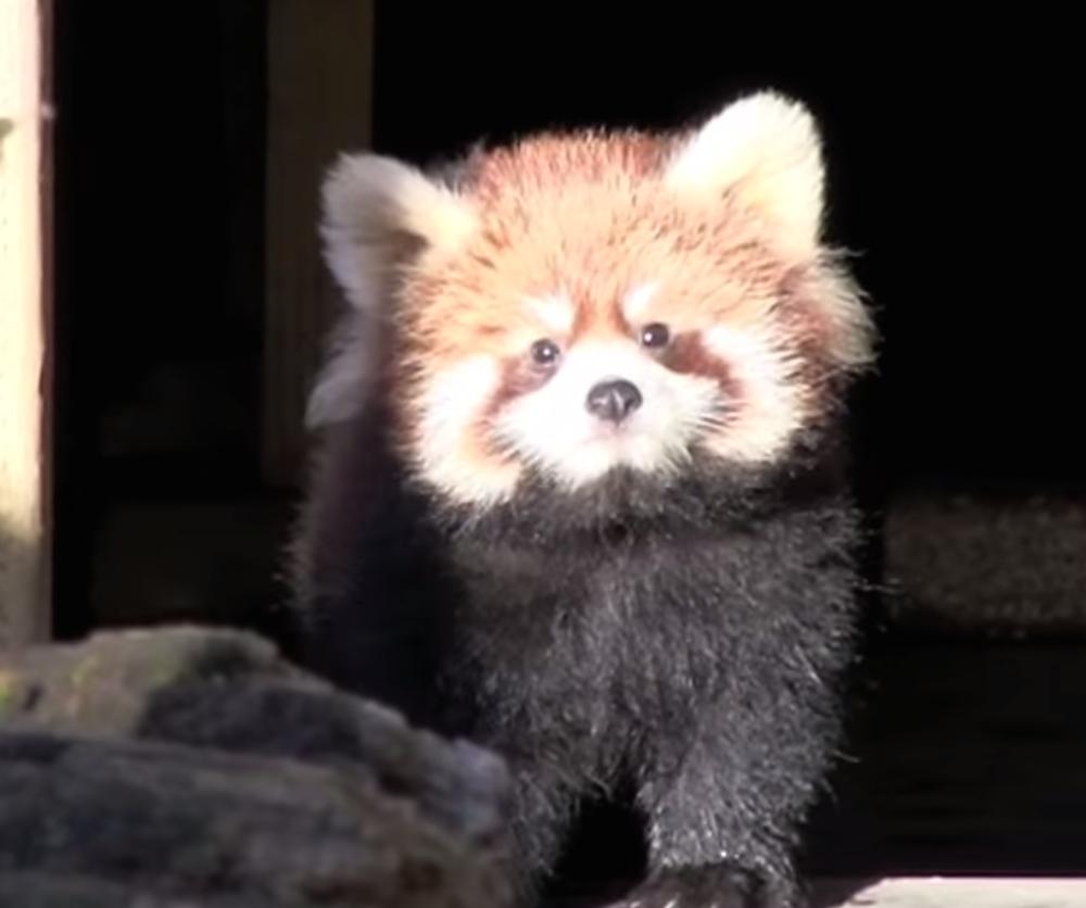 Ronron, il panda rosso