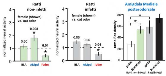 Negli animali sani (sinistra) l' odore femminile aumenta l'attività della  AMpd, paragonato all' effetto dell' odore del predatore, mentre resta uguale nei ratti infetti (al centro). A destra un confronto diretto tra i livelli di attivazione dell' AMpd nelle varie condizioni