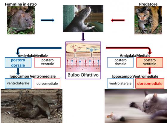 I due odori sono processati da differenti vie di comunicazione: l' odore dell' estro viene processato dalla via in blu, mentre quello del predatore dalla via in rosso. Le due corrono parallele ma distinte, originando comportamenti opposti.