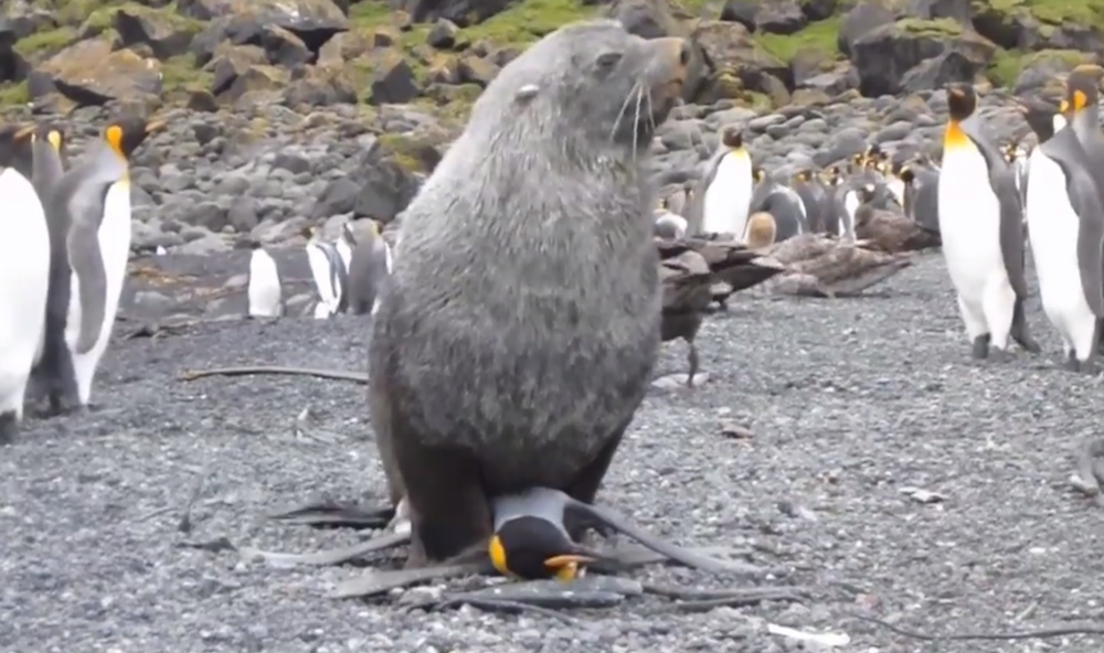 Sesso interspecie in Antartide