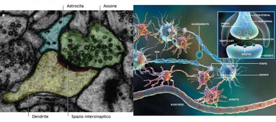 L' associazione tra astrocita e sinapsi è sia strutturale che funzionale