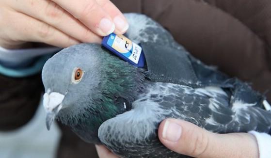 piccione-viaggiatore-SD