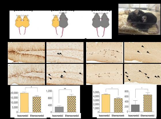 Negli ippocampi dei  tre gruppi sperimentali (A),  i markers neurogenici Dcx (B) e BrdU (C) mostrano profili simili di attivazione nei soggetti eterocronici