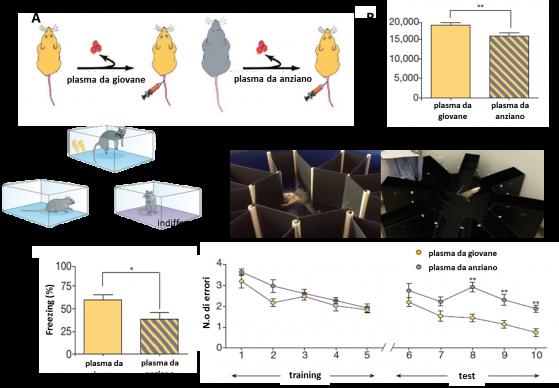 Confrontando i due gruppi (A), si vede ancora una volta una ridotta neurogenesi ippocampale (B), che accompagna deficit nel condizionamento contestuale alla paura,  misurato come risposta di freezing (C) e nel labirinto a bracci radiali acquatico, misurato in numero di imboccature dei bracci sbagliati prima di trovar l' uscita (D)