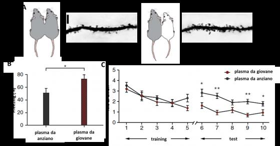 Il sangue giovane fa aumentare la densità sinaptica nell' ippocampo dei vecchi eterotrasfusi (A), e n migliora le prestazioni cognitive (B & C)