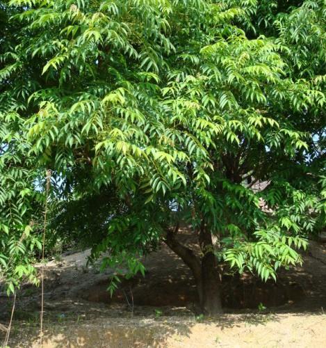 Toxicodendron vernicifluum Seed