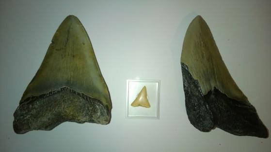 Questi sono due denti fossili di Megalodon della mia collezione, messi a confronto con un dente fossile di grande squalo bianco