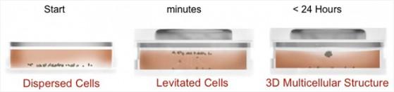 Bioprinting - coltura per levitazione magnetica