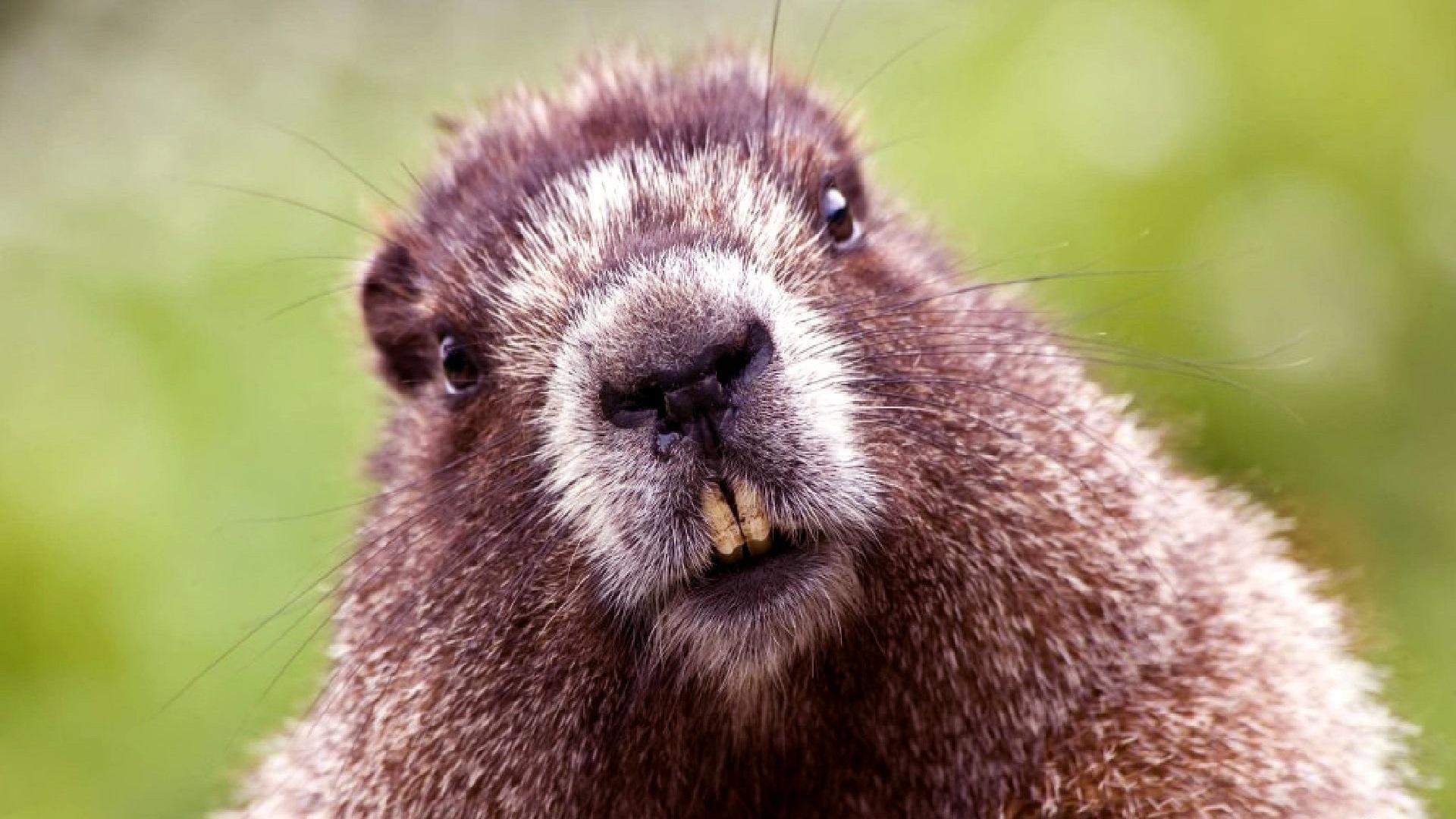 Internet, i castori sradicano la fibra ottica