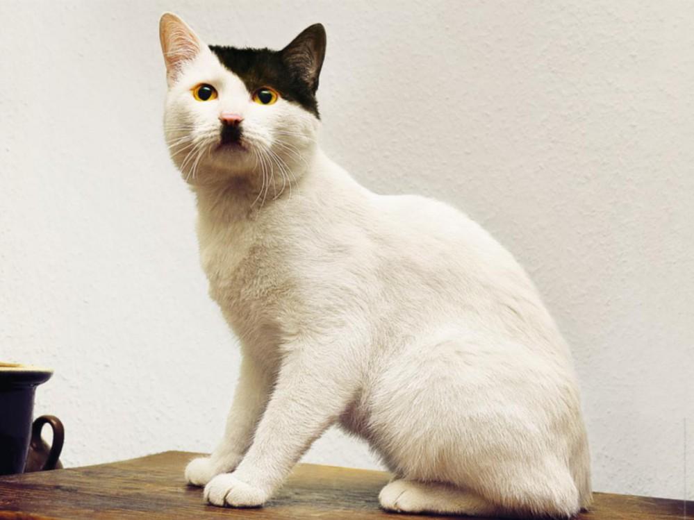 cat-that-looks-like-hitler