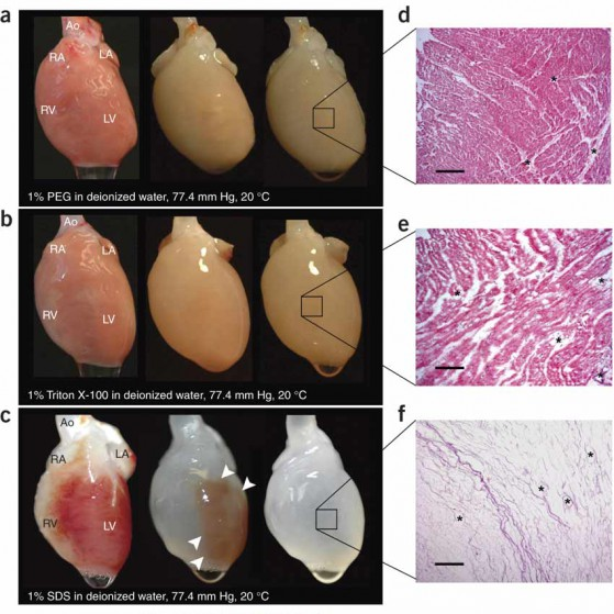 Decellularizzazione di un cuore di topo