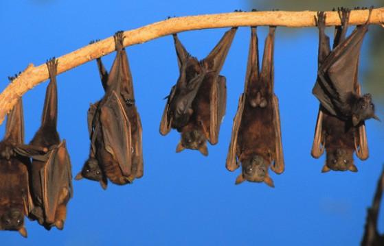Pipistrello volpe volante