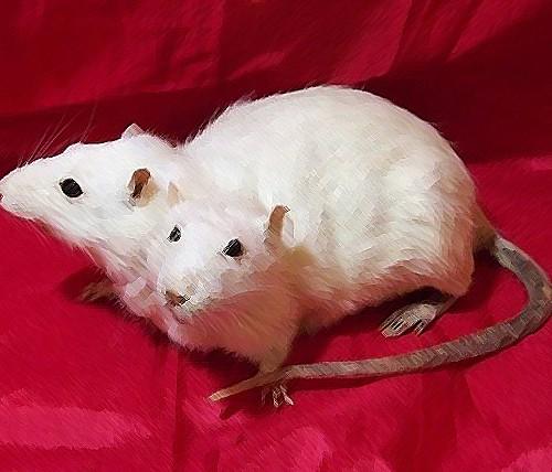 Ricostruzione del trapianto di testa sul topo