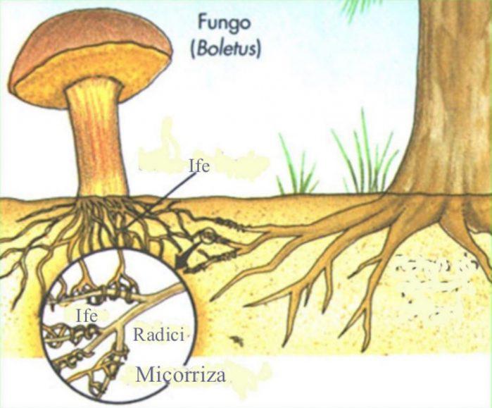 carbonio fungo funghi