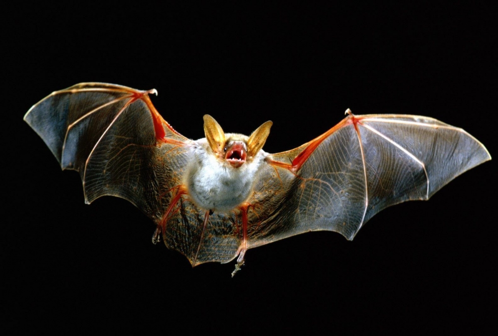 Bat_in_Flight