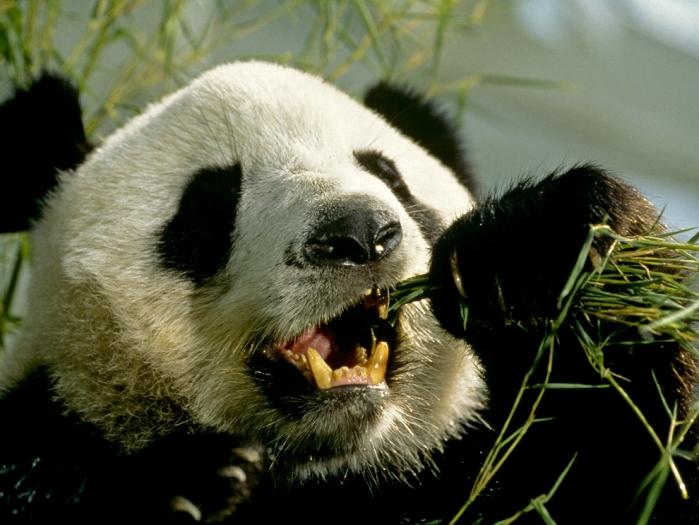 Panda e denti
