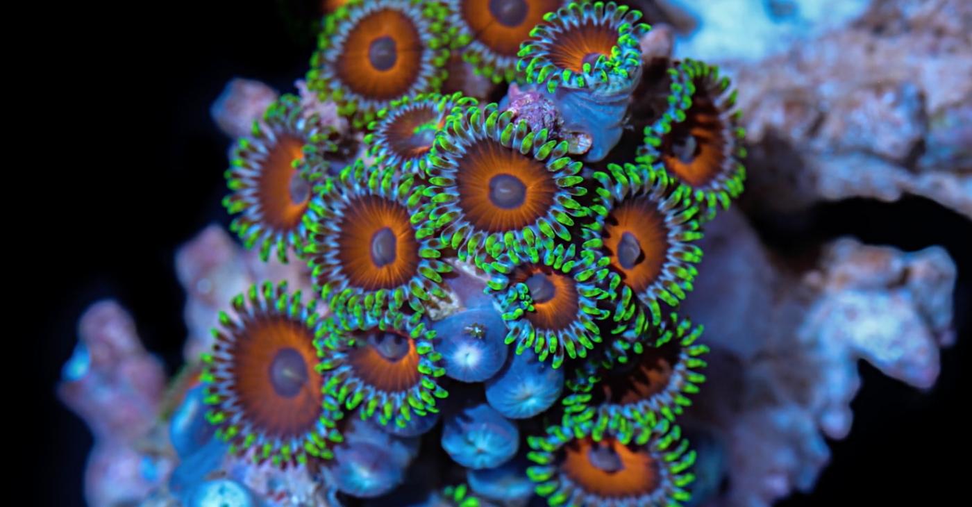 I colori dei coralli in un timelapse