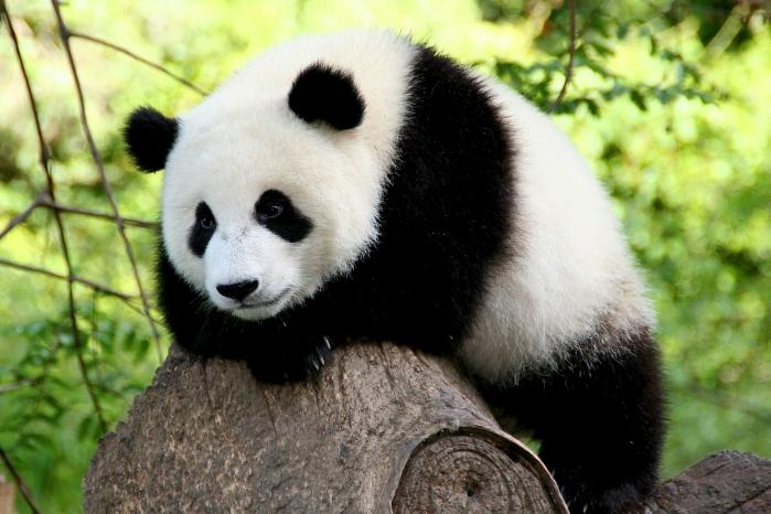 panda-2-sm