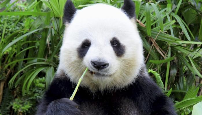 panda-1217