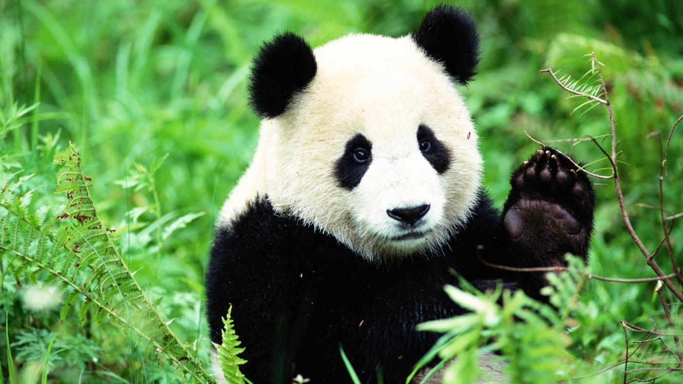Il panda: Un errore evolutivo!?