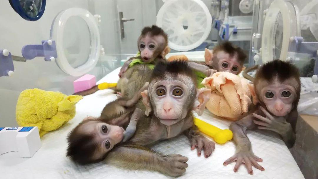 Clonate in Cina le prime scimmie affette da disturbi cerebrali