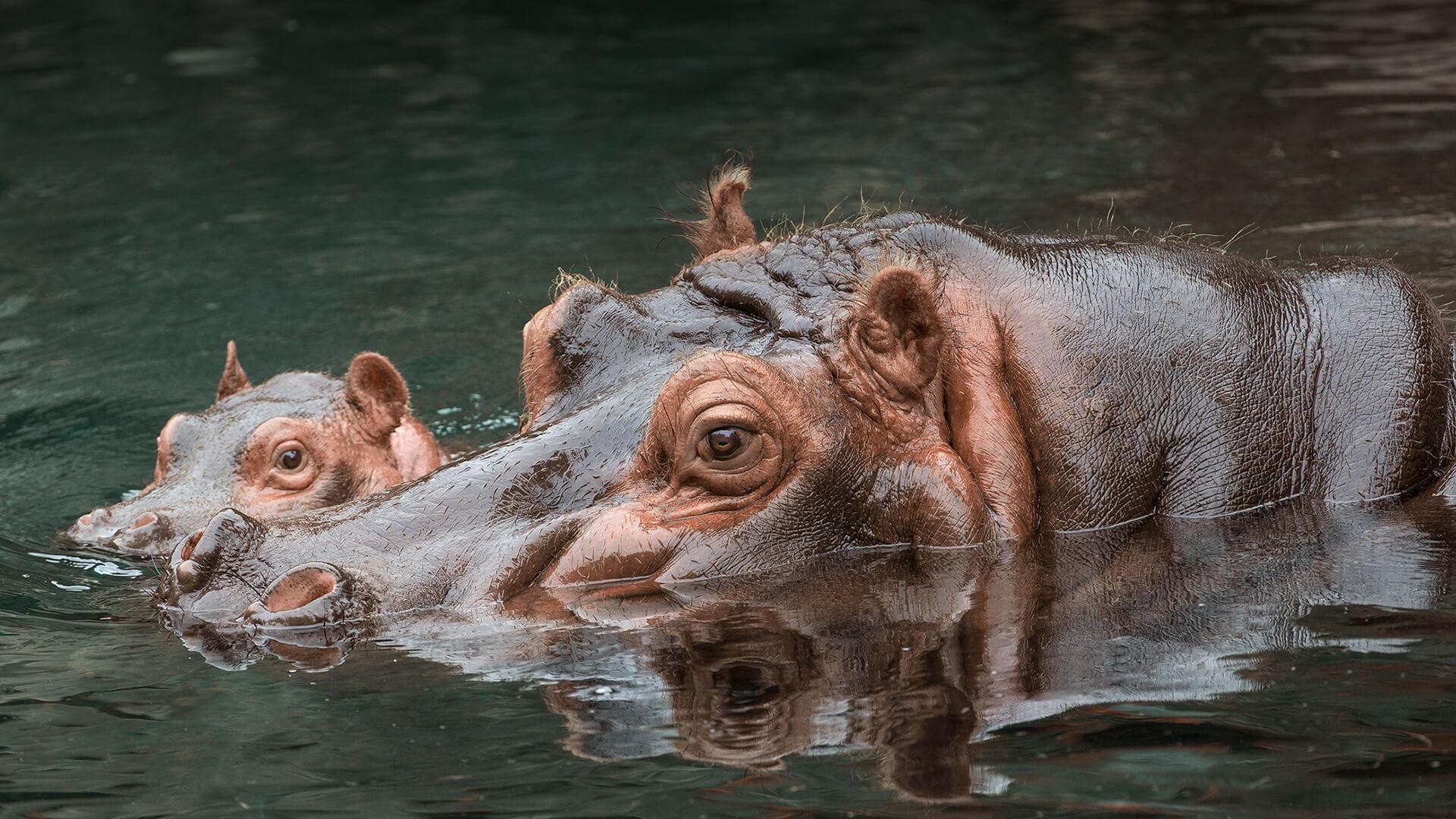 La popò dell'ippopotamo: una risorsa per l'ambiente africano