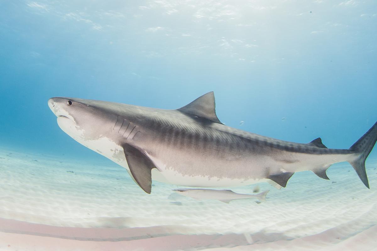 Gli squali del golfo del Messico banchettano con i cadaveri degli uccelli migratori