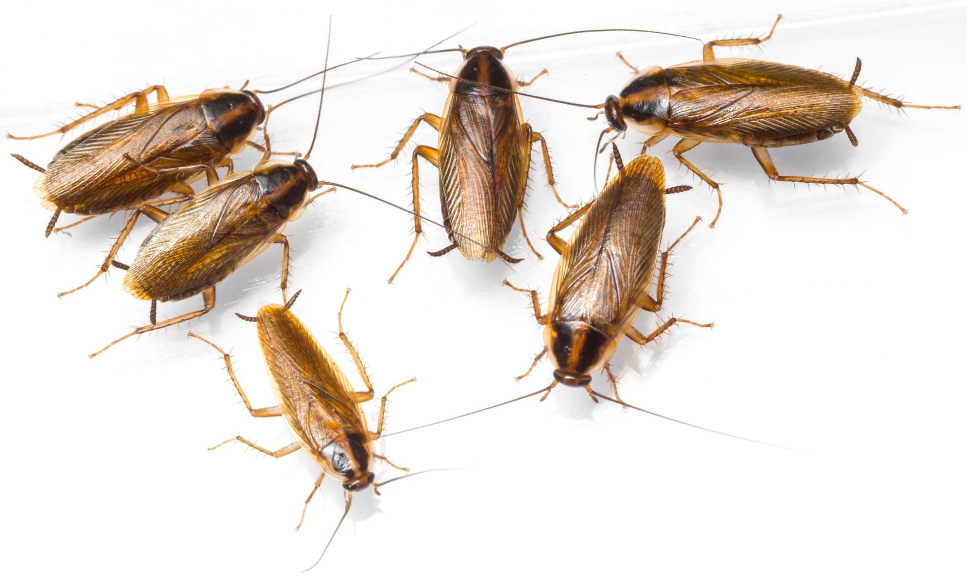 In futuro gli scarafaggi saranno impossibili da uccidere con gli insetticidi