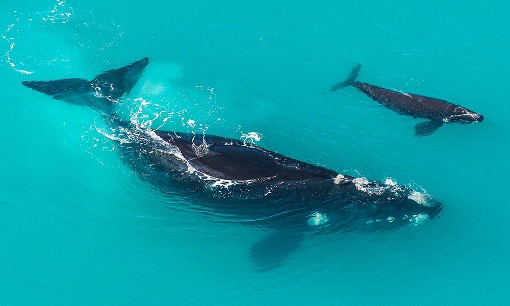Le balene bisbigliano per sfuggire alle orche