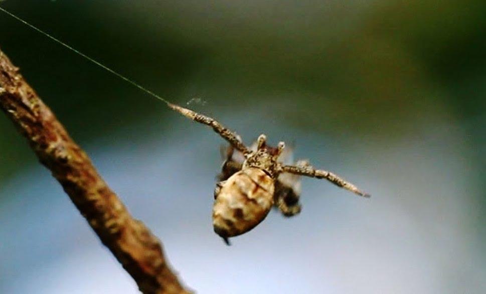 Come l'Hyptiotes utilizza la ragnatela per amplificare e potenziare la spinta per la caccia