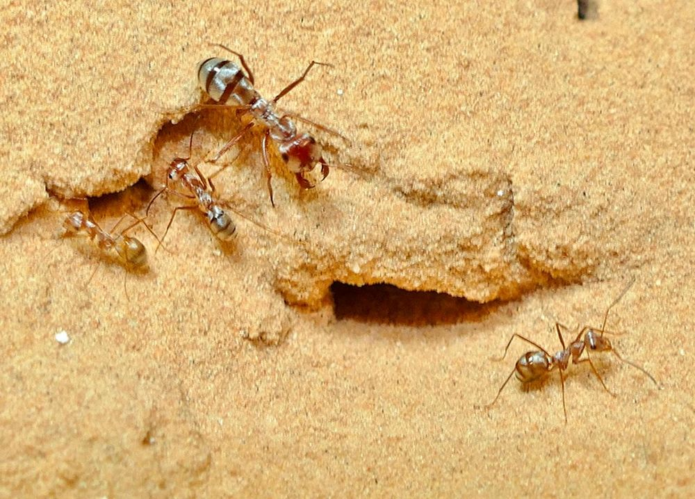 Cataglyphis bombycina: la formica più veloce al mondo