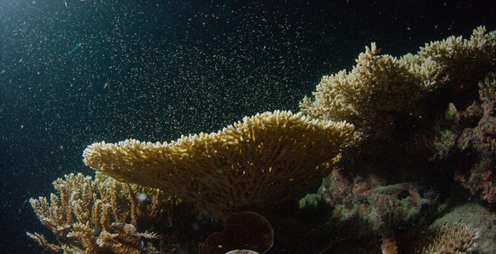 È cominciata la rigenerazione annuale della grande barriera corallina