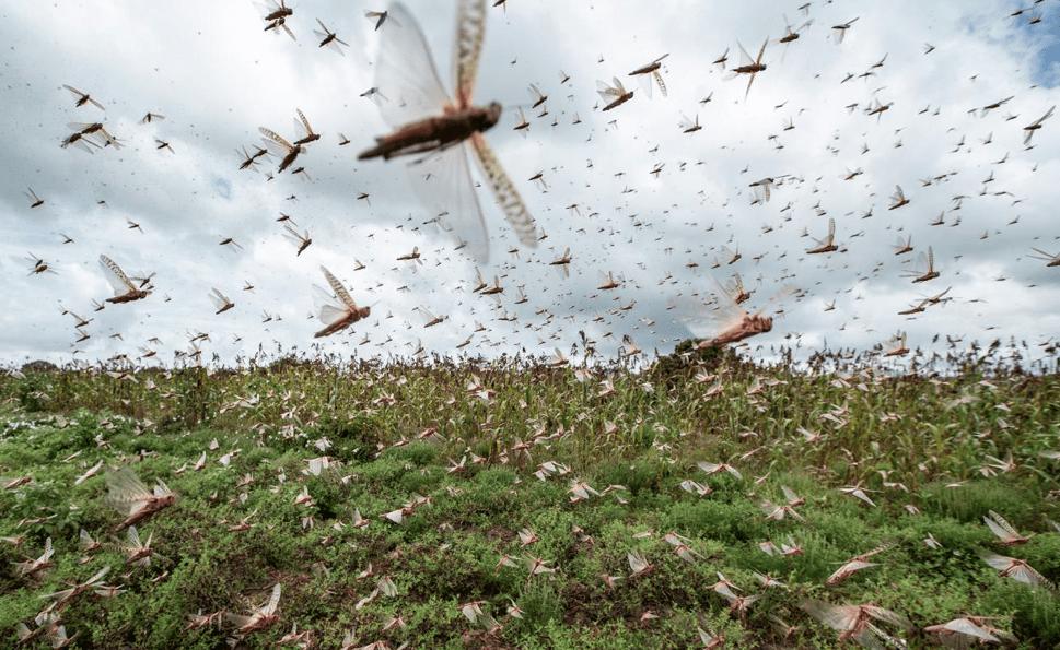 Invasione di locuste: corno d'Africa in ginocchio e ora si spostano in Asia