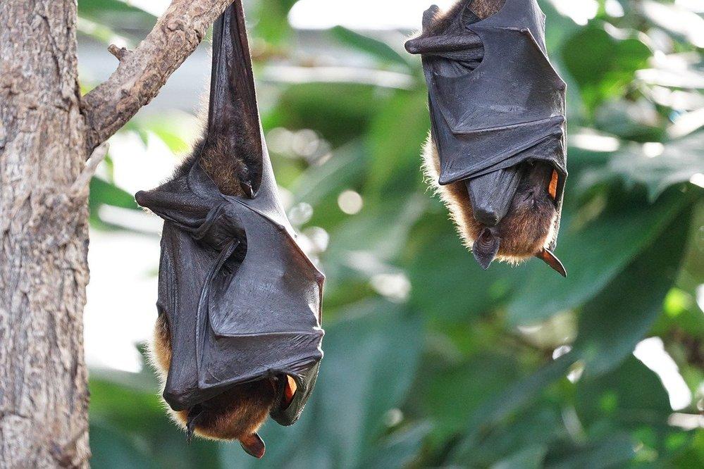 Coronavirus: l'ipotesi dell'origine nei pipistrelli