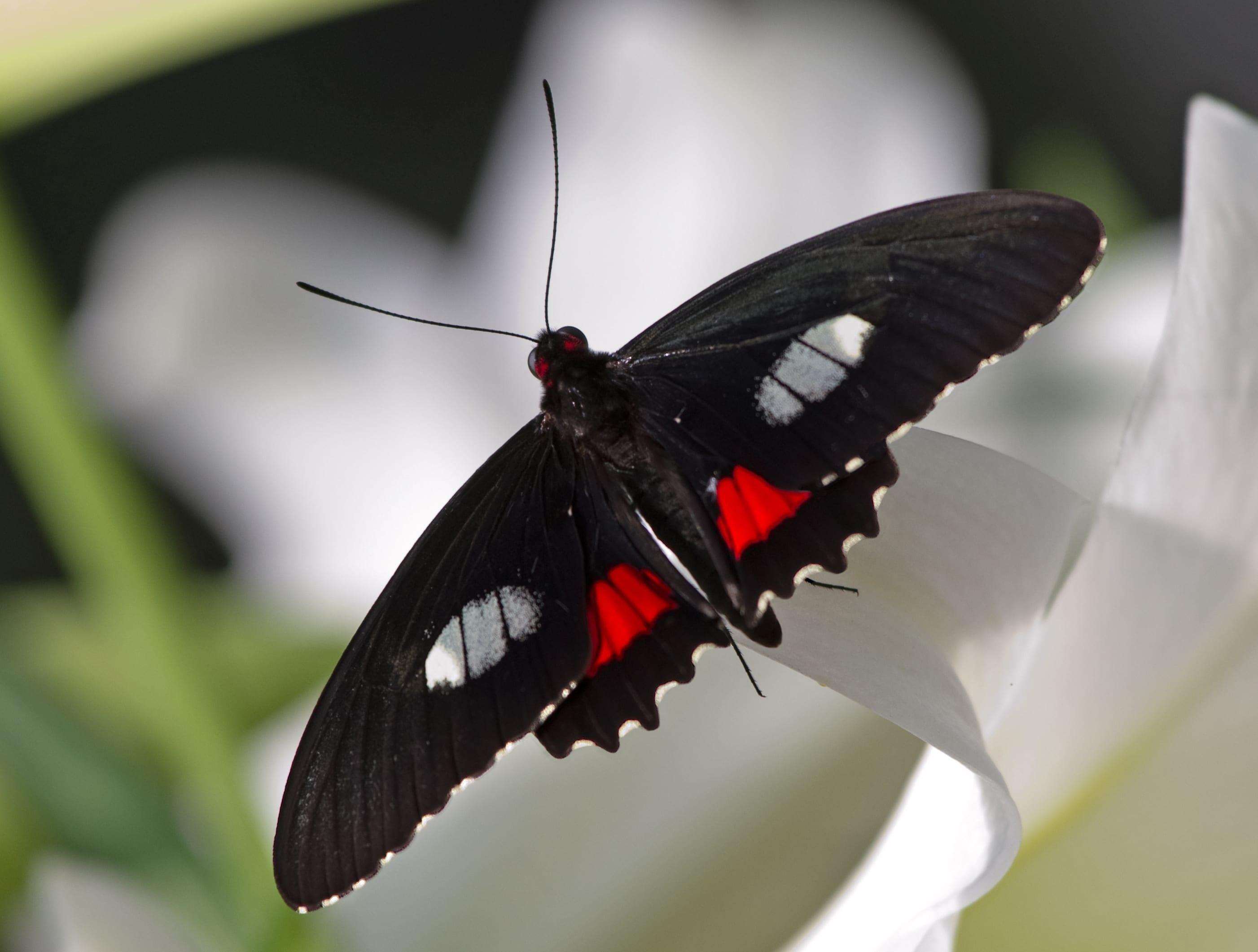 farfalla con ali ultra-nere