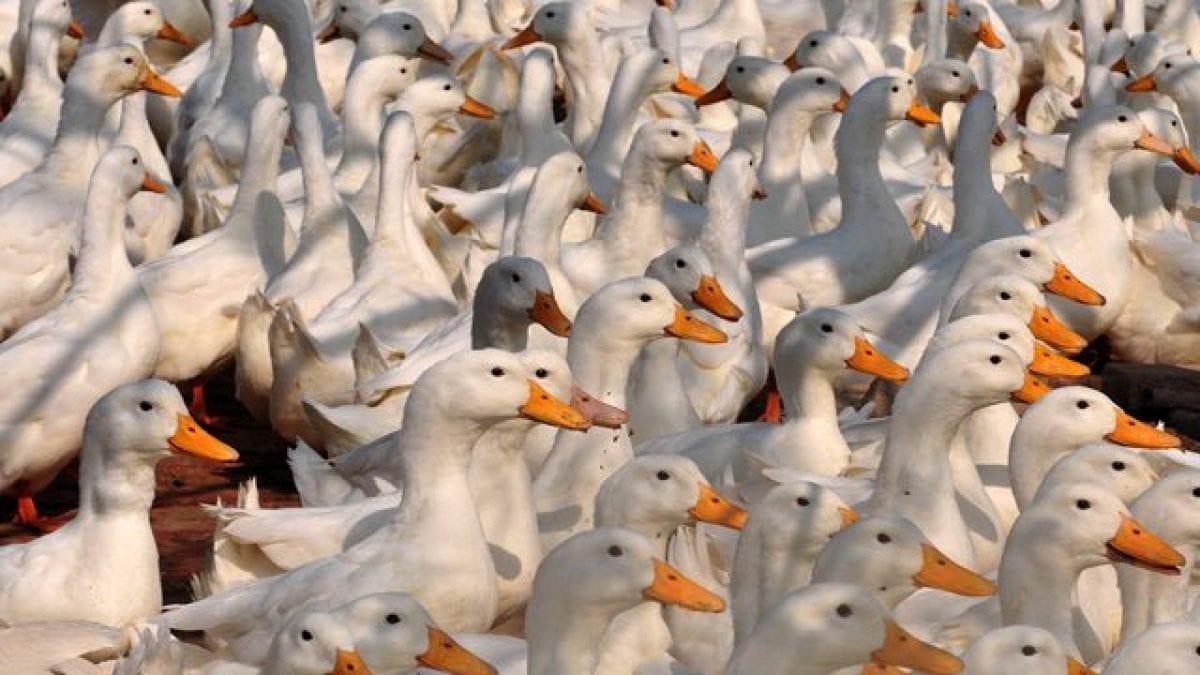 Francia e Regno Unito sono in guerra per il foie gras