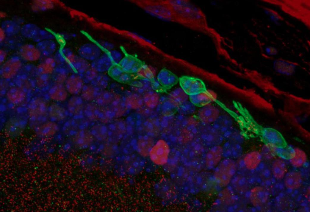 """Topi ciechi tornano a vedere: il """"miracolo"""" della riprogrammazione cellulare"""
