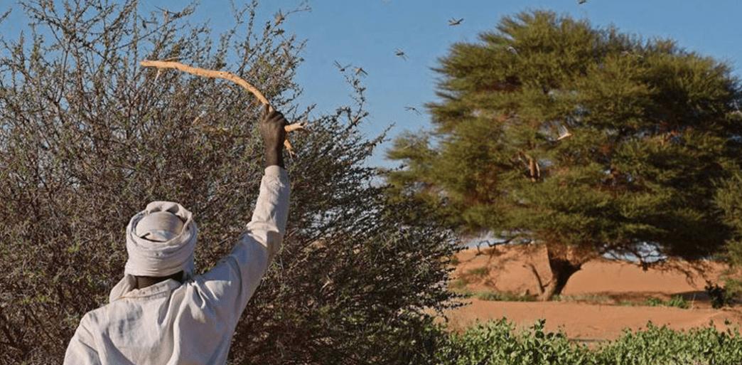 Locuste: la lotta in Africa continua (ora insieme a Covid19)