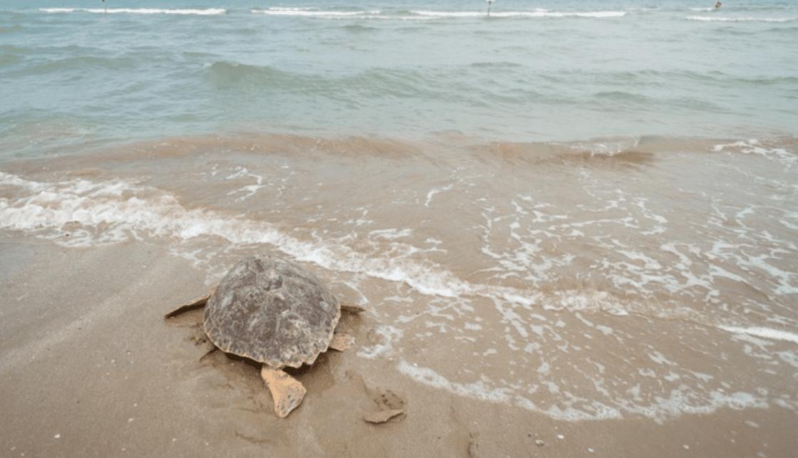 Tartarughe liberate in Adriatico in diretta social