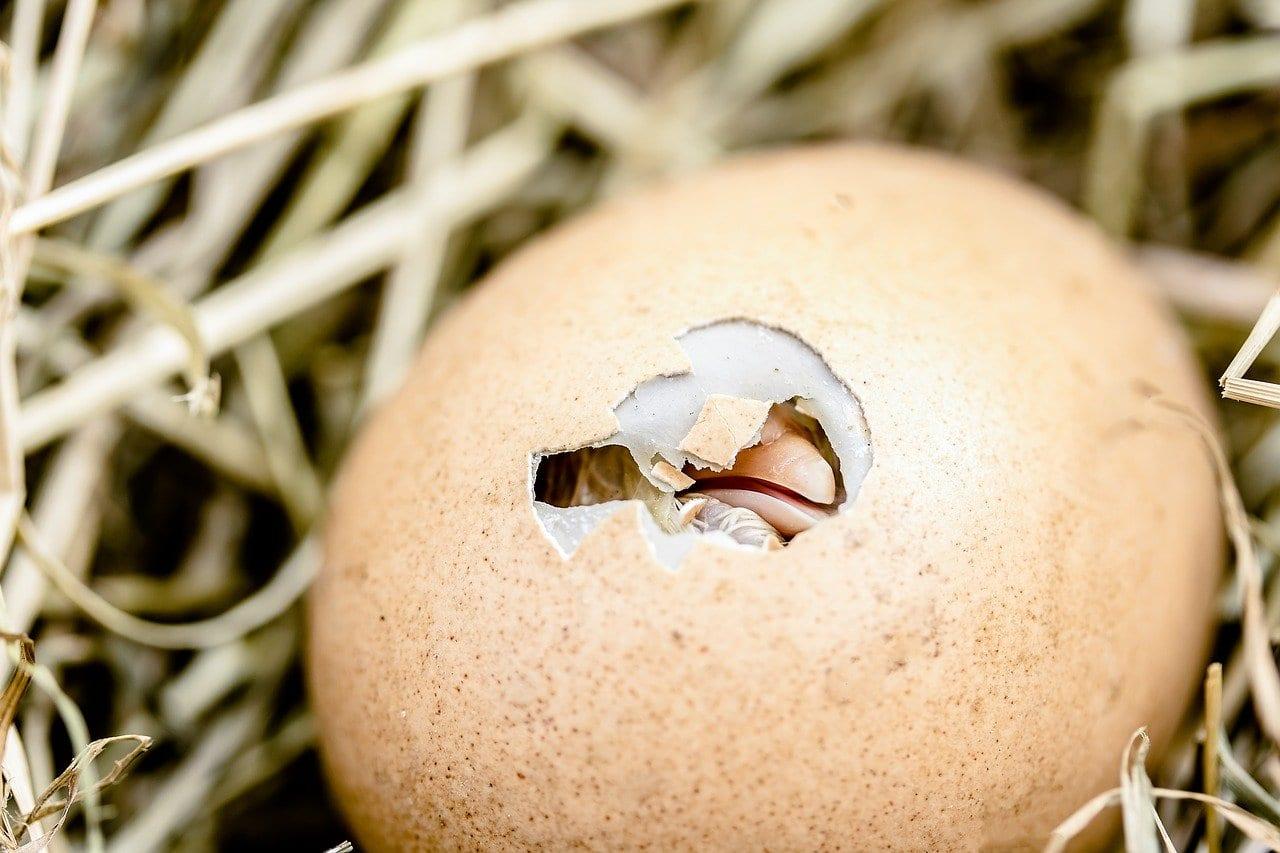 """La nanostruttura del guscio delle uova: il segreto della """"forza"""" dei pulcini"""